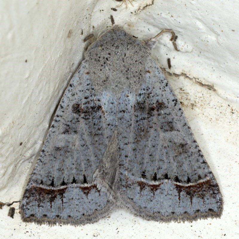 Pantydia sparsa at Ainslie, ACT - 10 Oct 2020