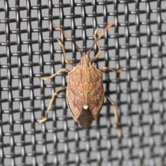 Poecilometis strigatus (Gum Tree Shield Bug) at Higgins, ACT - 14 Oct 2020 by Alison Milton