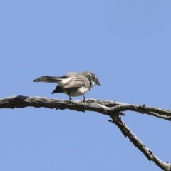 Rhipidura albiscapa (Grey Fantail) at Mount Ainslie - 12 Oct 2020 by Alison Milton