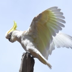 Cacatua galerita (Sulphur-crested Cockatoo) at ANBG - 11 Oct 2020 by Tim L