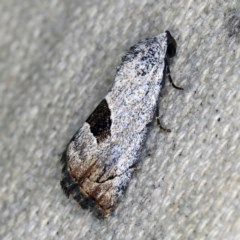 Armactica conchidia (Conchidia Moth) at O'Connor, ACT - 14 Oct 2020 by ibaird