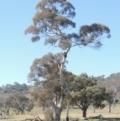 Eucalyptus melliodora at Gordon, ACT - 25 Aug 2020