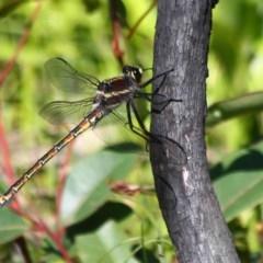 Petalura gigantea (Giant Dragonfly) at Morton National Park - 14 Oct 2020 by CBrandis