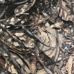 Pseudemoia entrecasteauxii (Woodland Tussock-skink) at Namadgi National Park - 11 Oct 2020 by Tapirlord