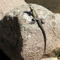Intellagama lesueurii (Eastern Water Dragon) at Namadgi National Park - 12 Oct 2020 by KMcCue