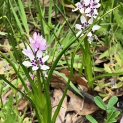 Wurmbea dioica subsp. dioica (Early Nancy) at Namadgi National Park - 14 Oct 2020 by KMcCue