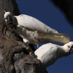 Cacatua galerita (Sulphur-crested Cockatoo) at Mount Ainslie - 14 Oct 2020 by jbromilow50