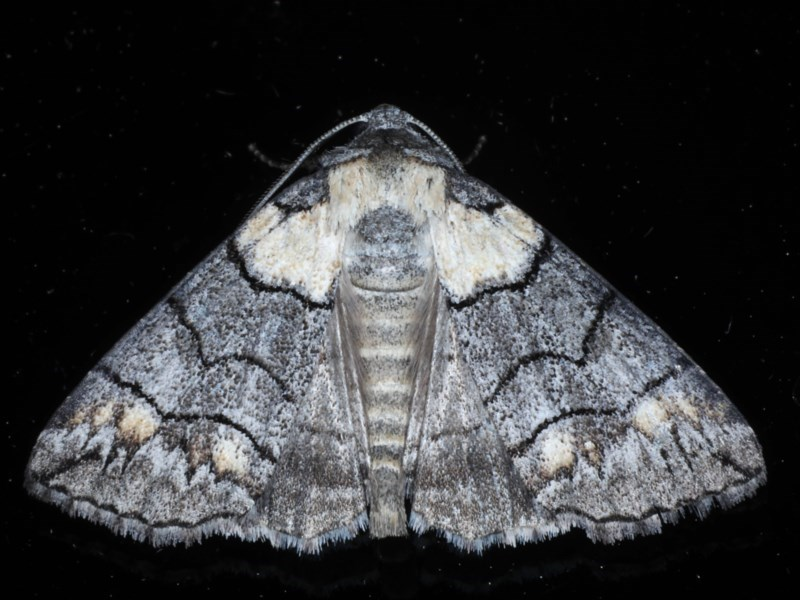 Dysbatus singularis at Ainslie, ACT - 14 Oct 2020