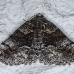 Gastrina cristaria (Wave-lined Geometrid) at Ainslie, ACT - 14 Oct 2020 by jbromilow50