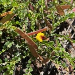 Bossiaea buxifolia (Bush Pea) at Hughes, ACT - 15 Oct 2020 by KL