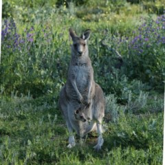Macropus giganteus (Eastern Grey Kangaroo) at Ainslie, ACT - 14 Oct 2020 by jbromilow50