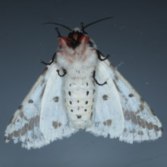 Spilosoma canescens at Ainslie, ACT - 14 Oct 2020