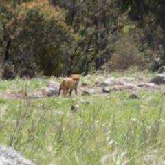 Vulpes vulpes (Red Fox) at Gilmore Paddocks - 11 Oct 2020 by MichaelMulvaney