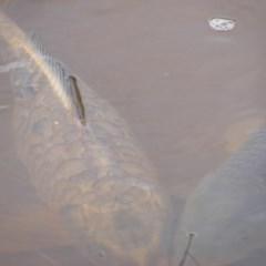 Cyprinus carpio (Common Carp) at Jerrabomberra, ACT - 13 Oct 2020 by MichaelMulvaney