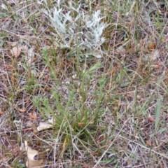 Rutidosis leptorhynchoides (Button wrinklewort) at Queanbeyan West, NSW - 13 Oct 2020 by MichaelMulvaney