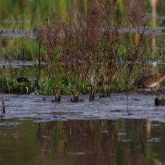Gallinago hardwickii (Latham's Snipe) at Fyshwick, ACT - 15 Oct 2020 by regeraghty