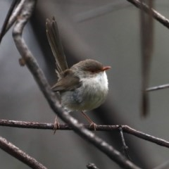 Malurus cyaneus (Superb Fairy-wren) at Rosedale, NSW - 13 Oct 2020 by jbromilow50