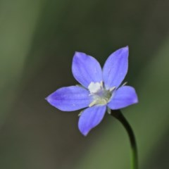 Wahlenbergia multicaulis (Tadgell's Bluebell) at Dryandra St Woodland - 15 Oct 2020 by ConBoekel