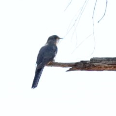 Cacomantis flabelliformis (Fan-tailed Cuckoo) at Dryandra St Woodland - 15 Oct 2020 by ConBoekel
