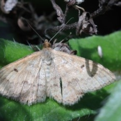 Scopula rubraria (Reddish Wave) at Dryandra St Woodland - 15 Oct 2020 by ConBoekel