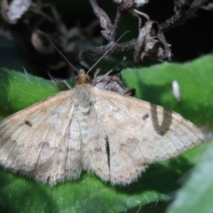 Scopula rubraria at Dryandra St Woodland - 15 Oct 2020