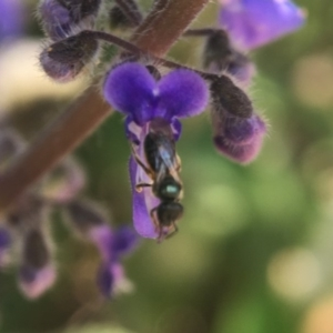 Homalictus sp. (genus) at ANBG - 15 Oct 2020