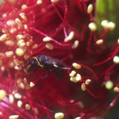 Hylaeus (Gnathoprosopis) amiculinus (Hylaeine colletid bee) at Acton, ACT - 15 Oct 2020 by PeterA