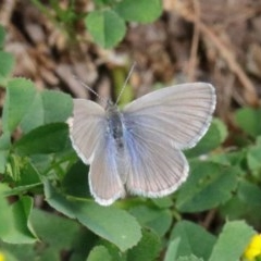 Zizina otis (Common Grass-blue) at Dryandra St Woodland - 15 Oct 2020 by ConBoekel