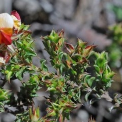 Pultenaea procumbens at Dryandra St Woodland - 15 Oct 2020