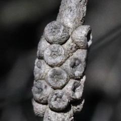 Melaleuca parvistaminea at Dryandra St Woodland - 15 Oct 2020