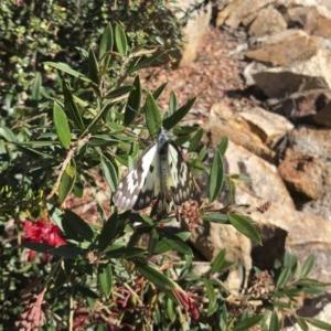 Delias aganippe at Michelago, NSW - 10 Oct 2020