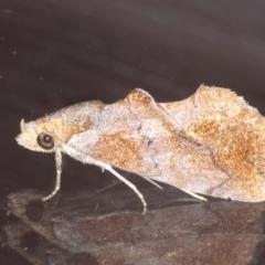 Plusiodonta arctipennis (Hooked Elegant) at Lilli Pilli, NSW - 7 Oct 2020 by jbromilow50