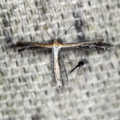 Stangeia xerodes (A plume moth) at O'Connor, ACT - 4 Oct 2020 by ibaird