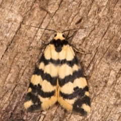 Thallarcha trissomochla (Yellow Crossed Footman) at Melba, ACT - 12 Oct 2020 by kasiaaus