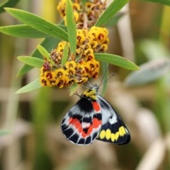 Delias harpalyce (Imperial Jezebel) at Namadgi National Park - 14 Oct 2020 by RodDeb