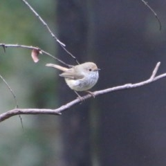 Acanthiza pusilla (Brown Thornbill) at Budawang, NSW - 14 Oct 2020 by LisaH