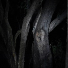 Petauroides volans (Greater Glider) at Mittagong - 15 Oct 2020 by pdmantis