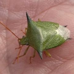 Vitellus sp. (genus) at Kambah, ACT - 15 Oct 2020