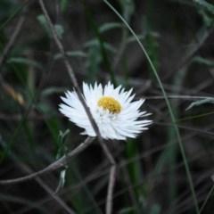 Helichrysum leucopsideum (TBC) at - 15 Oct 2020 by pdmantis