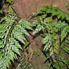Asplenium gracillimum (Mother Spleenwort) at Cambewarra Range Nature Reserve - 15 Oct 2020 by plants