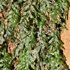 Unidentified Ferns and Clubmosses (TBC) at Cambewarra Range Nature Reserve - 15 Oct 2020 by plants