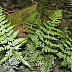 Lastreopsis acuminata (Shiny Shield Fern) at Cambewarra Range Nature Reserve - 15 Oct 2020 by plants