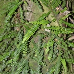 Arthropteris beckleri at Cambewarra Range Nature Reserve - 15 Oct 2020 by plants