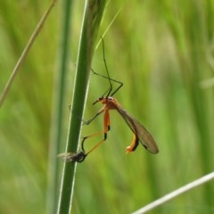 Harpobittacus australis (Hangingfly) at Piney Ridge - 15 Oct 2020 by SandraH