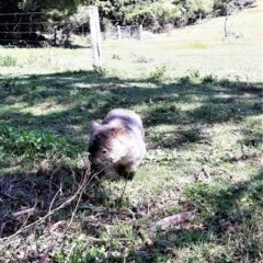 Vombatus ursinus (Bare-nosed Wombat) at Bellawongarah, NSW - 15 Oct 2020 by plants