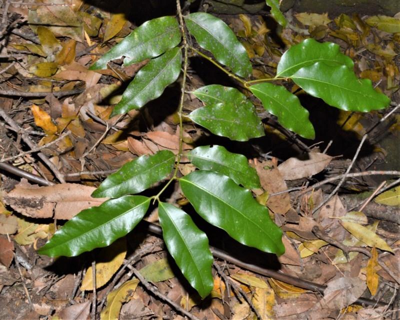 Cinnamomum oliveri at Cambewarra Range Nature Reserve - 15 Oct 2020