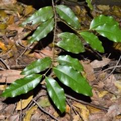 Cinnamomum oliveri (Oliver's Sassafras) at Cambewarra Range Nature Reserve - 15 Oct 2020 by plants