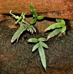 Blechnum ambiguum (Blechnum ambiguum) at Cambewarra Range Nature Reserve - 15 Oct 2020 by plants