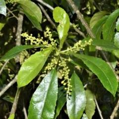 Claoxylon australe (Brittlewood) at Bellawongarah, NSW - 15 Oct 2020 by plants