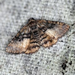 Aporoctena sp. (genus) (A Geometrid moth) at O'Connor, ACT - 11 Oct 2020 by ibaird